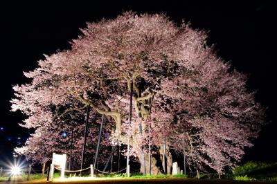 [ 孤高 ]  均整のとれた姿の美しい江戸彼岸桜。ライトアップにより陰影が強調され立体的に見えました。