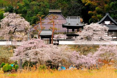 大雲寺の桜|