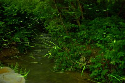 石の湯ゲンジボタル| 高く舞い上がるホタル、水面を飛ぶホタル、ホタルの光跡を見ていると静かな時間が流れていきます。