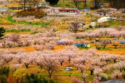 [ あんずの里 ]  標高380~450mの緩やかな傾斜地に広がるあんず畑。平地→中間→山際の順に満開をむかえる。千曲市観光協会による開花状況を参考に。