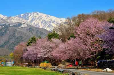 白馬岳と桜並木|