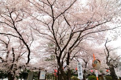 雨宮の渡しの桜|