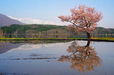 青木湖の桜|