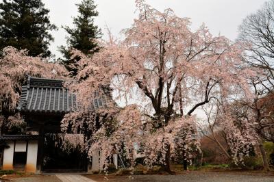 耕雲寺の桜|
