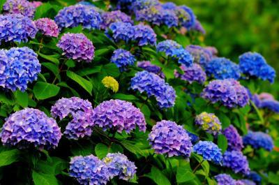 青から紫へ| こぶりなアジサイがたくさん咲いている場所です。