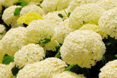 [ 高野辰之記念館 紫陽花 ]  記念館周辺にある白いアジサイ