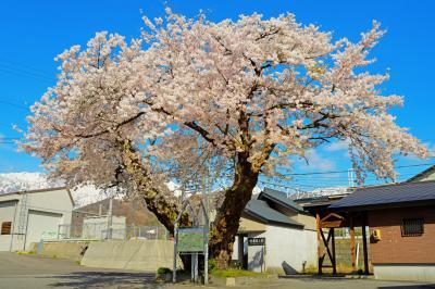 信濃森上駅の桜|