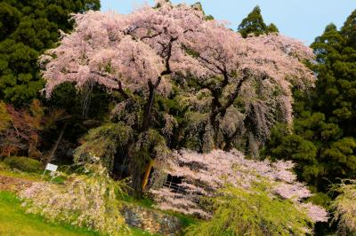 観音堂の夫婦桜| 背の高い枝垂桜が二本並び立つ。