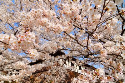 千本桜| 本堂を囲む白壁と立派な石垣、咲き誇る桜。和を感じる空間です。