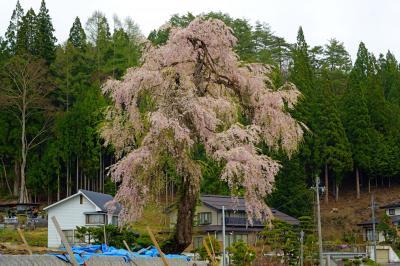 堀之内のしだれ桜|