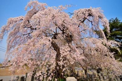 東照寺の枝垂桜| 枝振りが良く姿が美しい桜です。