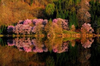 中綱湖 朝景| 朝陽を受け対岸のオオヤマザクラが輝いていました。湖面に映る桜が印象的でした。