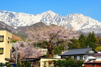 八方温泉・八方の湯付近の桜| 山にも負けない存在感のある桜でした。背後には残雪の白馬鑓と杓子岳がそびえています。