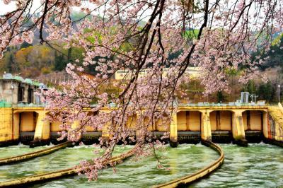 取水口と桜| 千曲川から取水された水はカーブして信濃川発電所に流れていきます。
