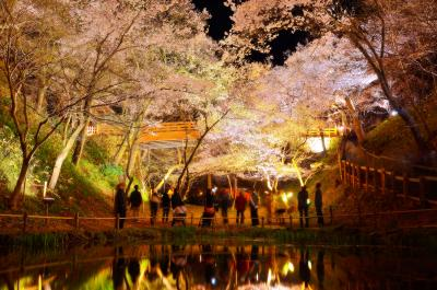 高遠城址公園 夜桜| 桜の森に包まれた幻想的な空間。