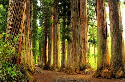戸隠神社奥社 杉並木| 随神門をくぐるとクマスギの巨木が立ち並び 圧倒的な空間が広がります。