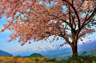 八重桜と後立山連峰| 残雪の北アルプスと見事に咲き誇る八重桜。雪深い小谷村の春。