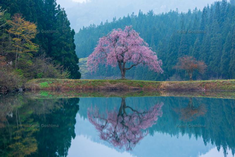 田屋の一本桜|