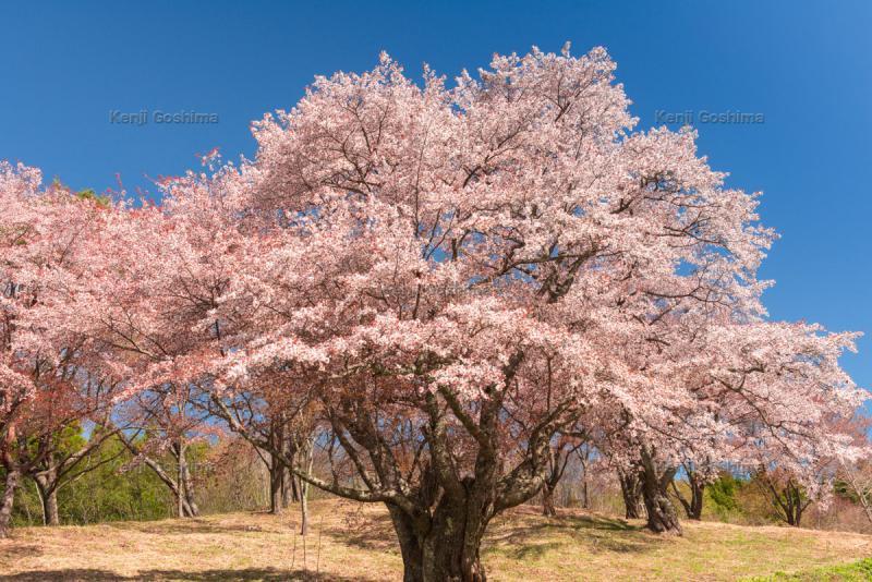 新田の大桜|