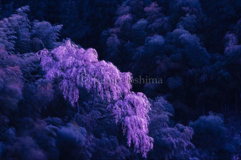 Kenji Goshima Sakura Works|