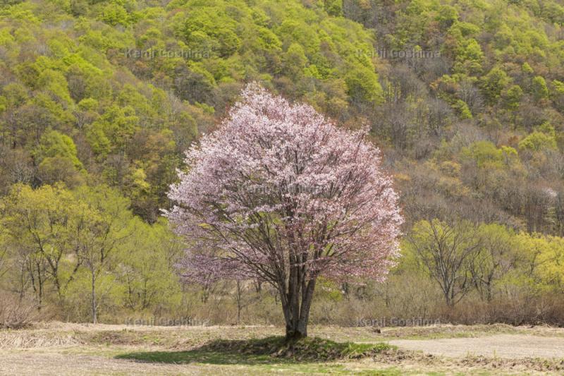 桧原の一本桜|