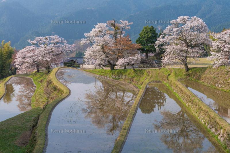 三多気の桜|