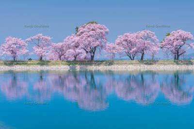 六道堤の桜|