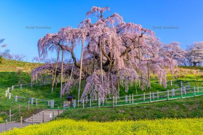 三春滝桜|