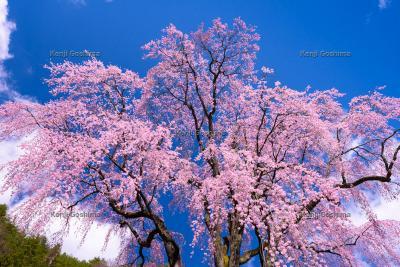 氏乗のしだれ桜|