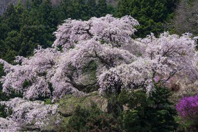 西丸尾のしだれ桜|