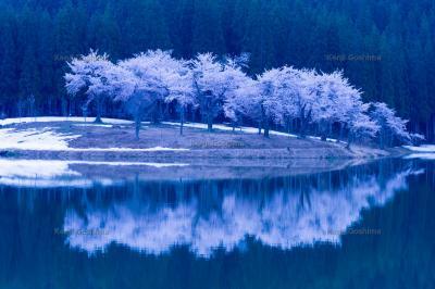 中子の桜|